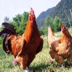 おいしさは日本で二番目!!松風地鶏