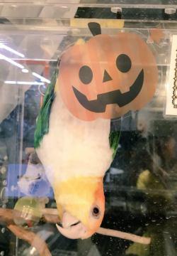 シロハラもかぼちゃに