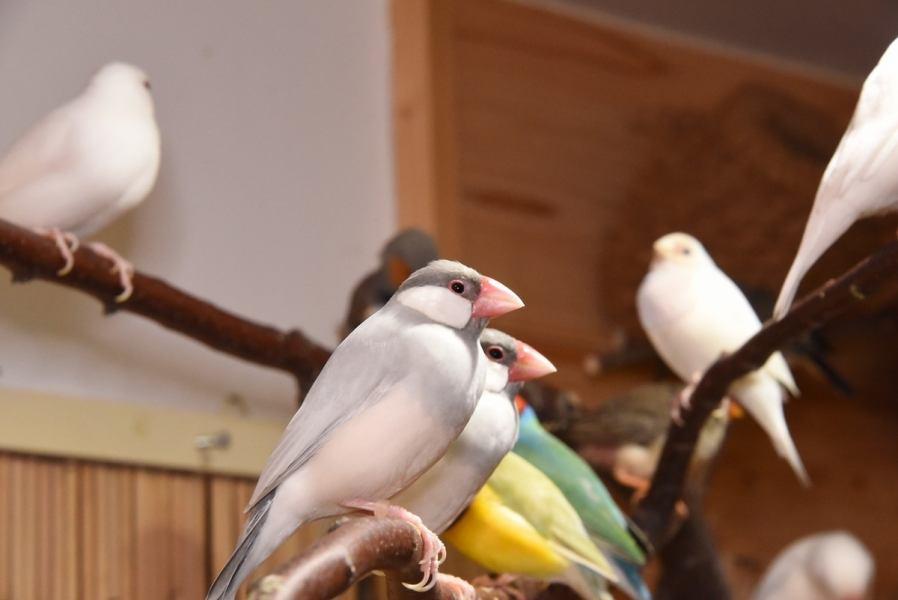 """如果你走进商店,可爱的小鸟在你面前创造的治疗空间◆なんと而且,""""Kotori Cafe Sugamo""""的鸟屋是全国最大的鸟类!小鸟自由生活的自然形象,我会看♪"""