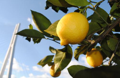 濑户达柠檬