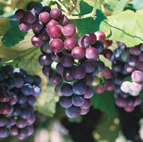 來自葡萄的北海道葡萄酒!