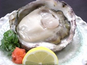 Summer limited rock oysters