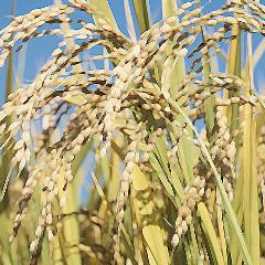 Rice is delicious ★ Special cultivation from the company contract field